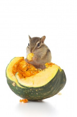 13589107-chipmunk-eating-pumpkin-seeds-on-a-pumpkin