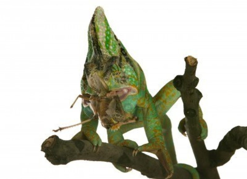 1464001-chameleon-eating-a-cricket-over-white-background