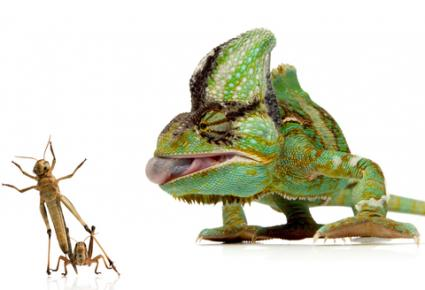 146654-425x290-Dinnertime-for-chameleon
