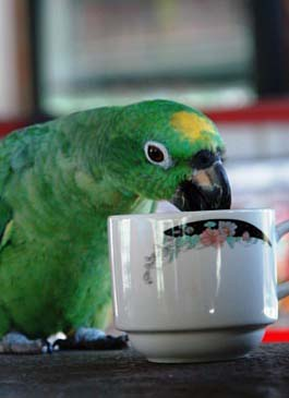 1_1235492640_parrot-drinking-coffee
