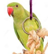 indian-ringneck-parakeet-green-toy-white-background-34557319
