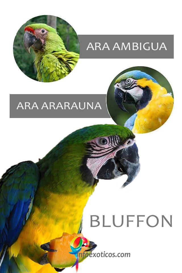Bluffon