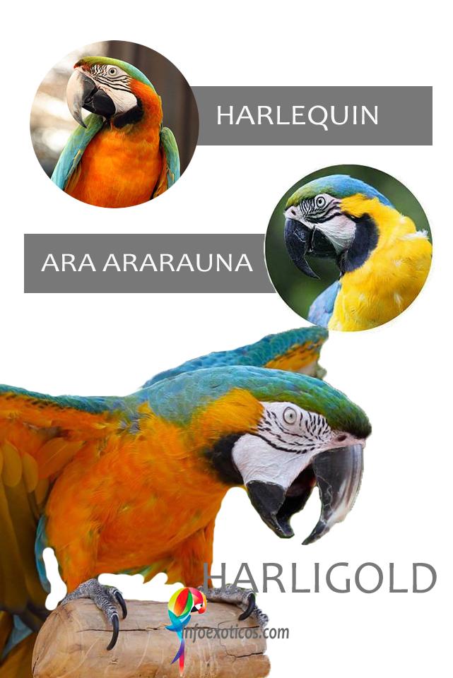 Harligold