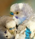 header-cockatiels-small-parakeets