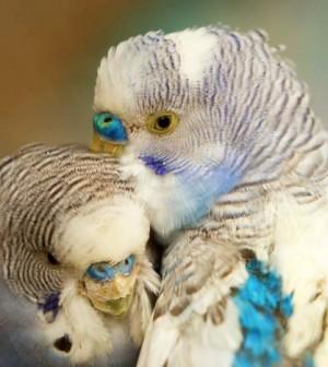 header-cockatiels-small-parakeets