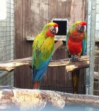 shamrock-macaw-52fe3070a7020