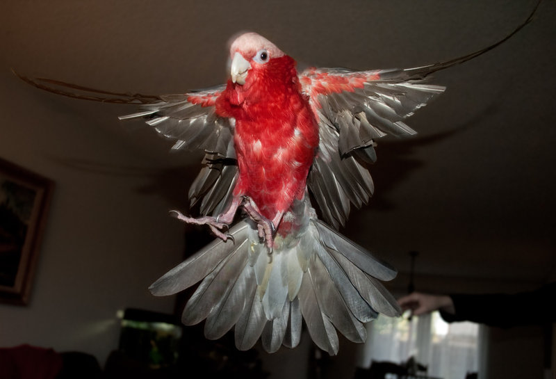 rosie_flying_2_by_copperarabian-d4m4j5p