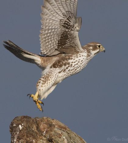 prairie-falcon-7143-ron-dudley