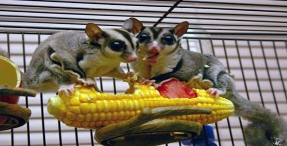 corn-hogs