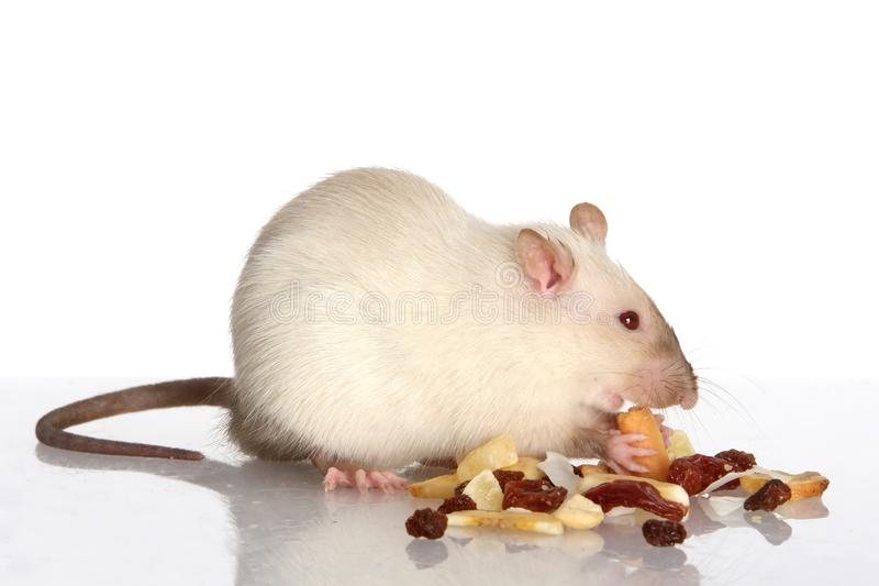 pet-rat-eating-11728076