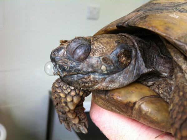 tortoise-runny-nose
