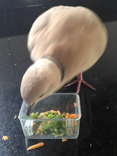 Dove-Feeding