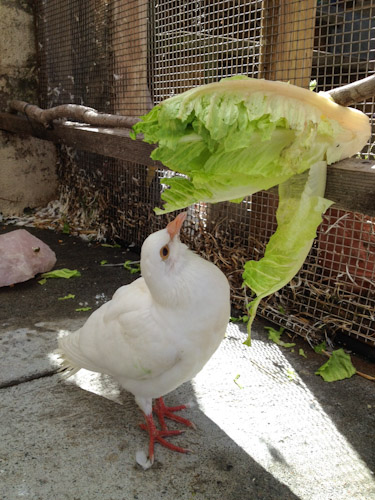 Pigeon-Greens-in-Aviary