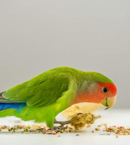 Parrot-Rosy_Faced_Lovebird-A_Rosy_Faced_Lovebird_feeding_off_the_ground