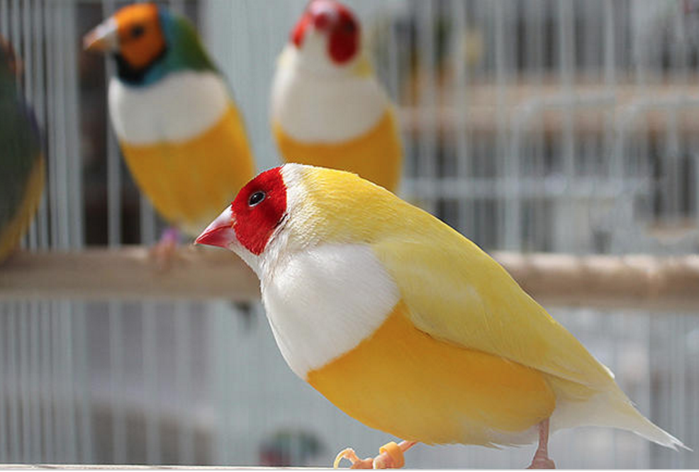 Yellowback-Gouldian-Finches-1