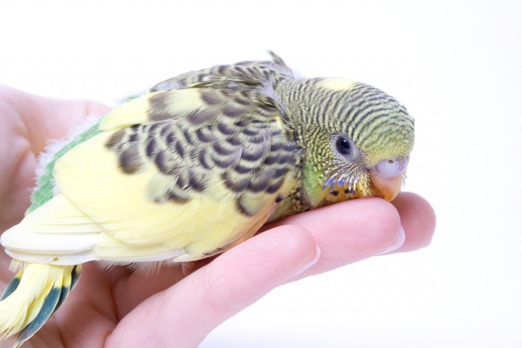 1200-134721066-young-budgie-on-human-hand