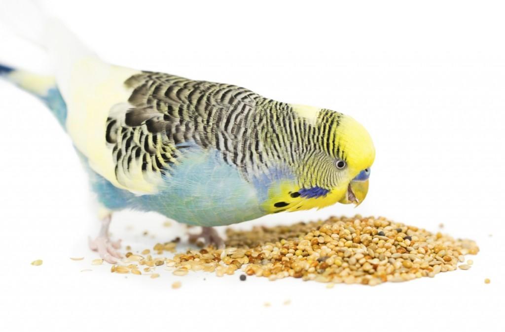 1200-533350729-budgie-bird-eating