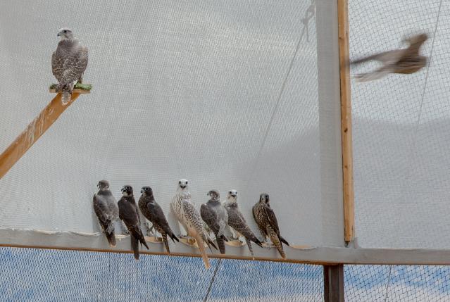 9_falcons_b-639x429