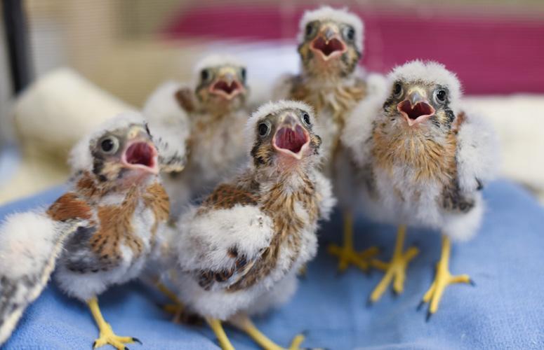 American-Kestrels-baby-raptors-rehabilitation-5977