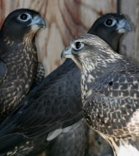 Gyrfalcons and G x P's
