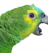Parrot-Screaming