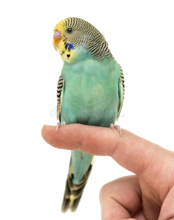 budgerigar-parakeet-perched-finger-isolated-white-77514494