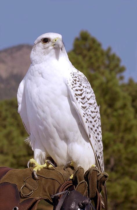 gyrfalcon-perched