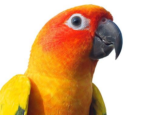 pets-n-more-birds-sun-conure-01-550x380