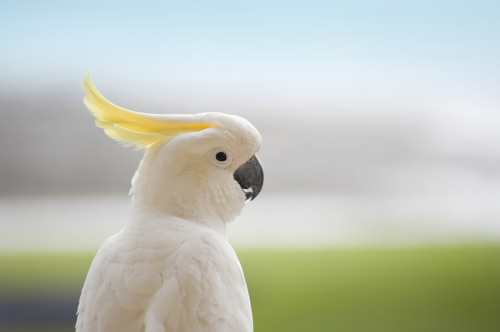 white and yellow feathers of a sulphur crested australian cockatoo