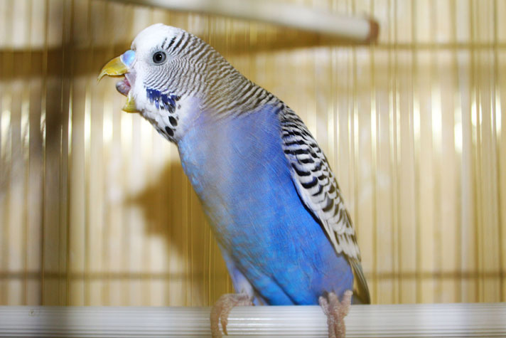 blue-budgie-ThinkstockPhotos-490262641