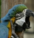 blue_and_gold_macaw_yawning_1400x