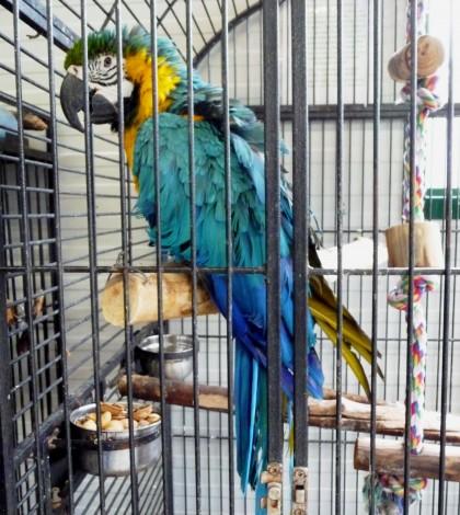 Ara_ararauna_-World_Parrot_Refuge,_Coombs,_British_Columbia,_Canada-8a_(1)