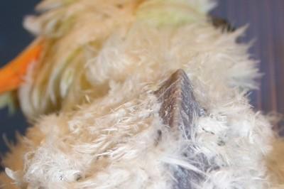 abv-emaciated-bird-langlois