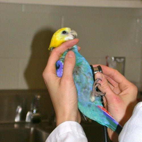 auscultation-of-bird