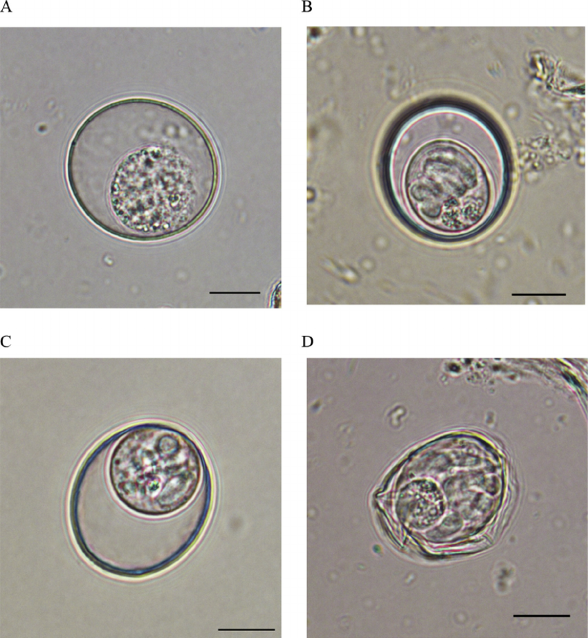 Photomicrographs-of-Caryospora-neofalconis-showing-one-spherical-to-subspherical