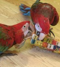 chewing-macaw-parrot