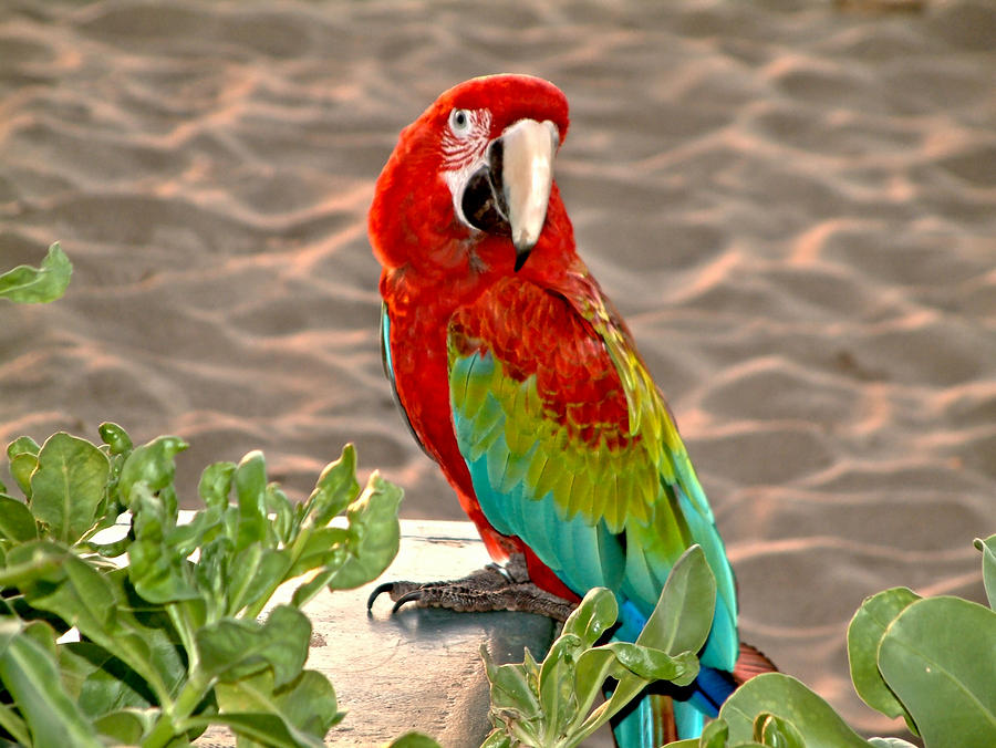 parrot-sunning-on-the-beach-rob-green
