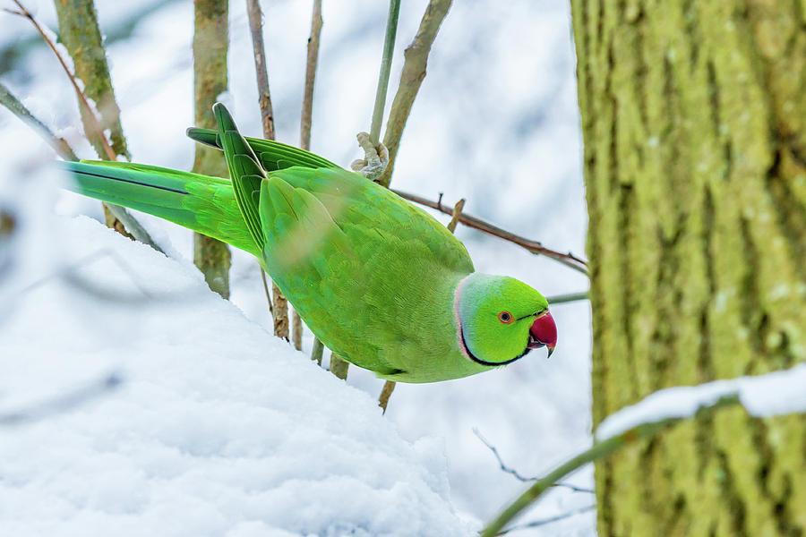 snow-parrot-andrew-balcombe