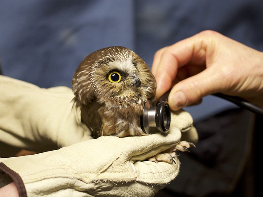 Mobile-Northern-Saw-Whet-Owl-receives-exam-Ali-Berman