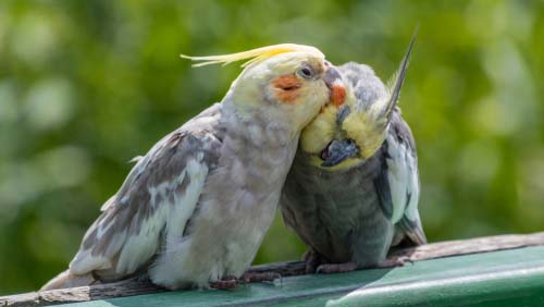 White-cockatiel-mix-birds-preening-each-other