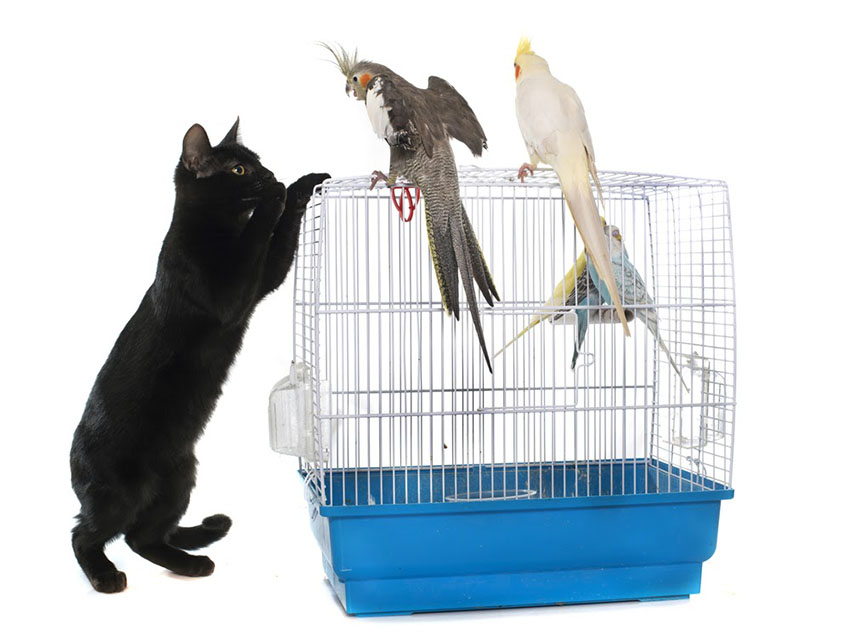 cockatiels-and-cats