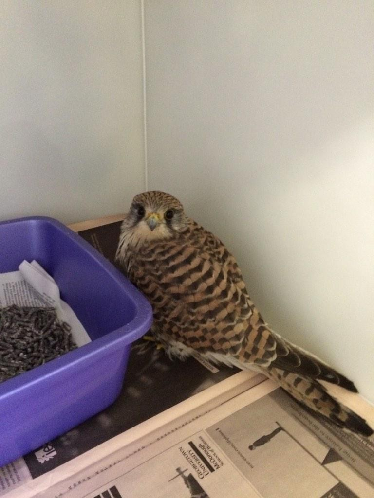 female-kestrel-patient