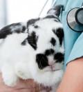 rabbit-vet-2_Fotolia_Tyler-Olson