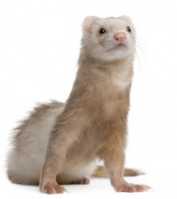 Front view of Ferret, 4 years old, looking up.