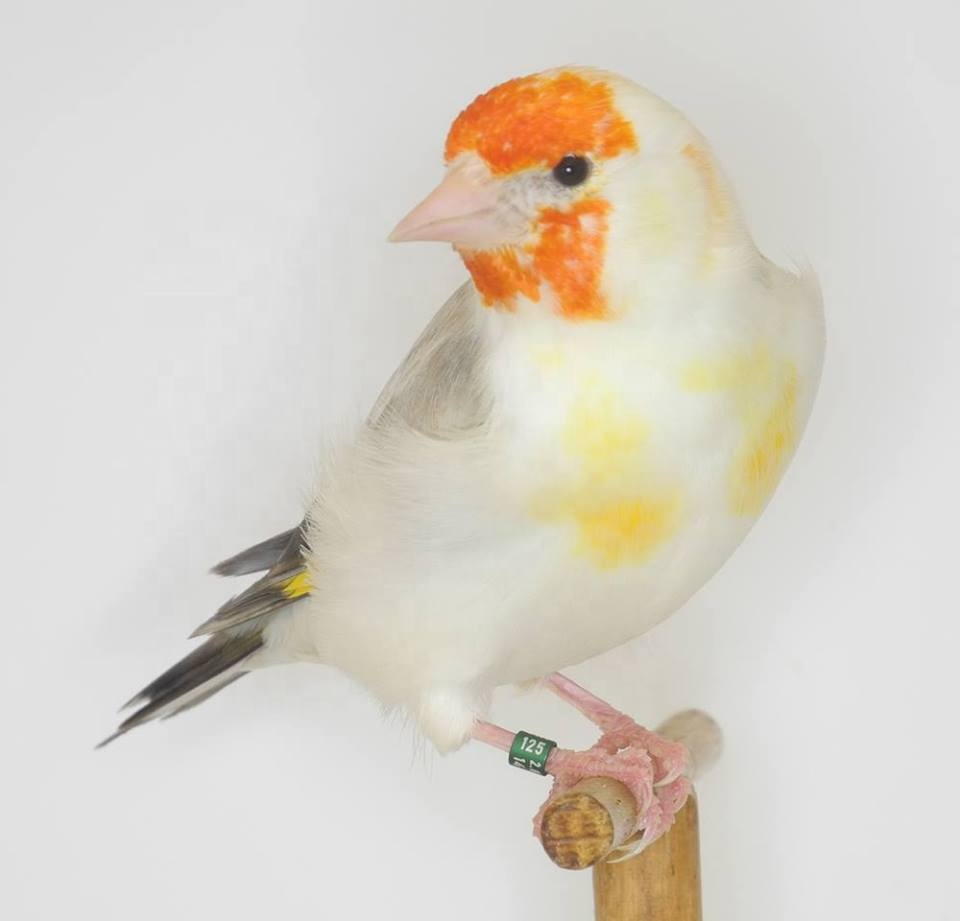 All-Live-Canary-Birds-Finches-Love-Birds