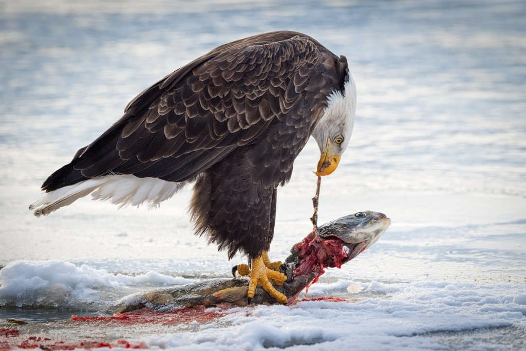 Bald-eagle-feeding-salmon-3