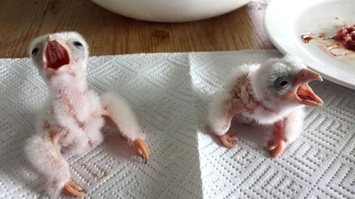 FALCON_CHICKS_DN01