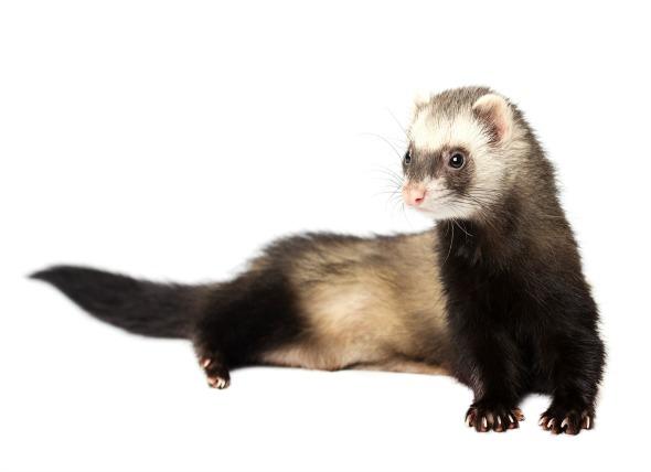 first-ferret