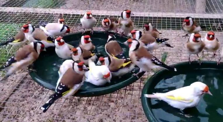 img-european-goldfinch-mutations-bathing-899