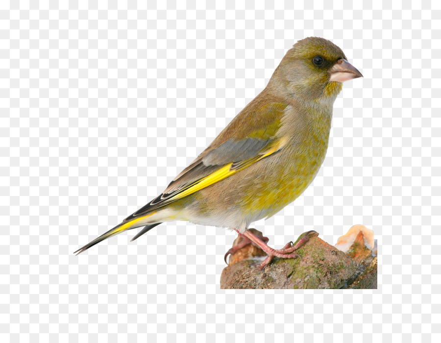 kisspng-house-sparrow-bird-european-greenfinch-finches-bra-shutter-stock-5b5676e9788c36.2787750715323931934938
